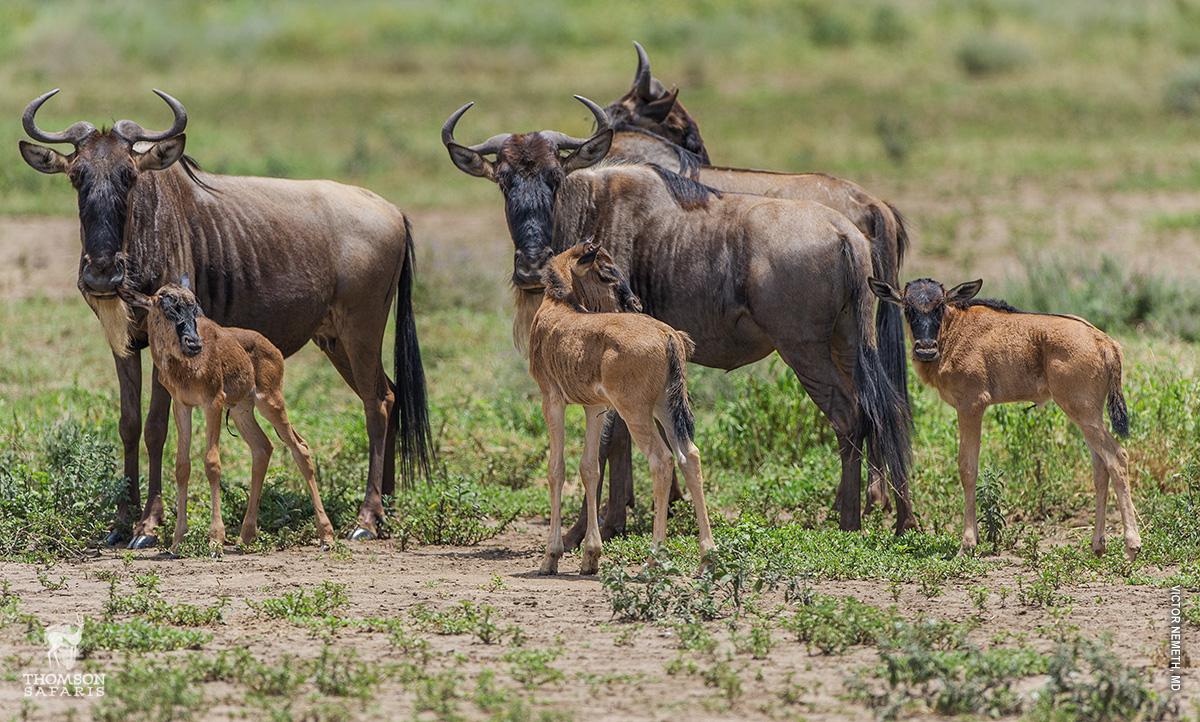 Jarní hromadné rození mláďat během Velké migrace v Serengeti